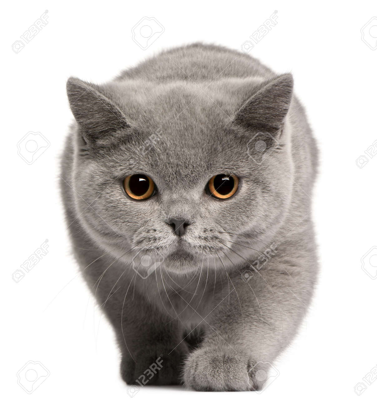 British Shorthair Kitten 4 Months Old In Front Of White Background Stock Photo Picture And Royalty Free Image Image 8972042