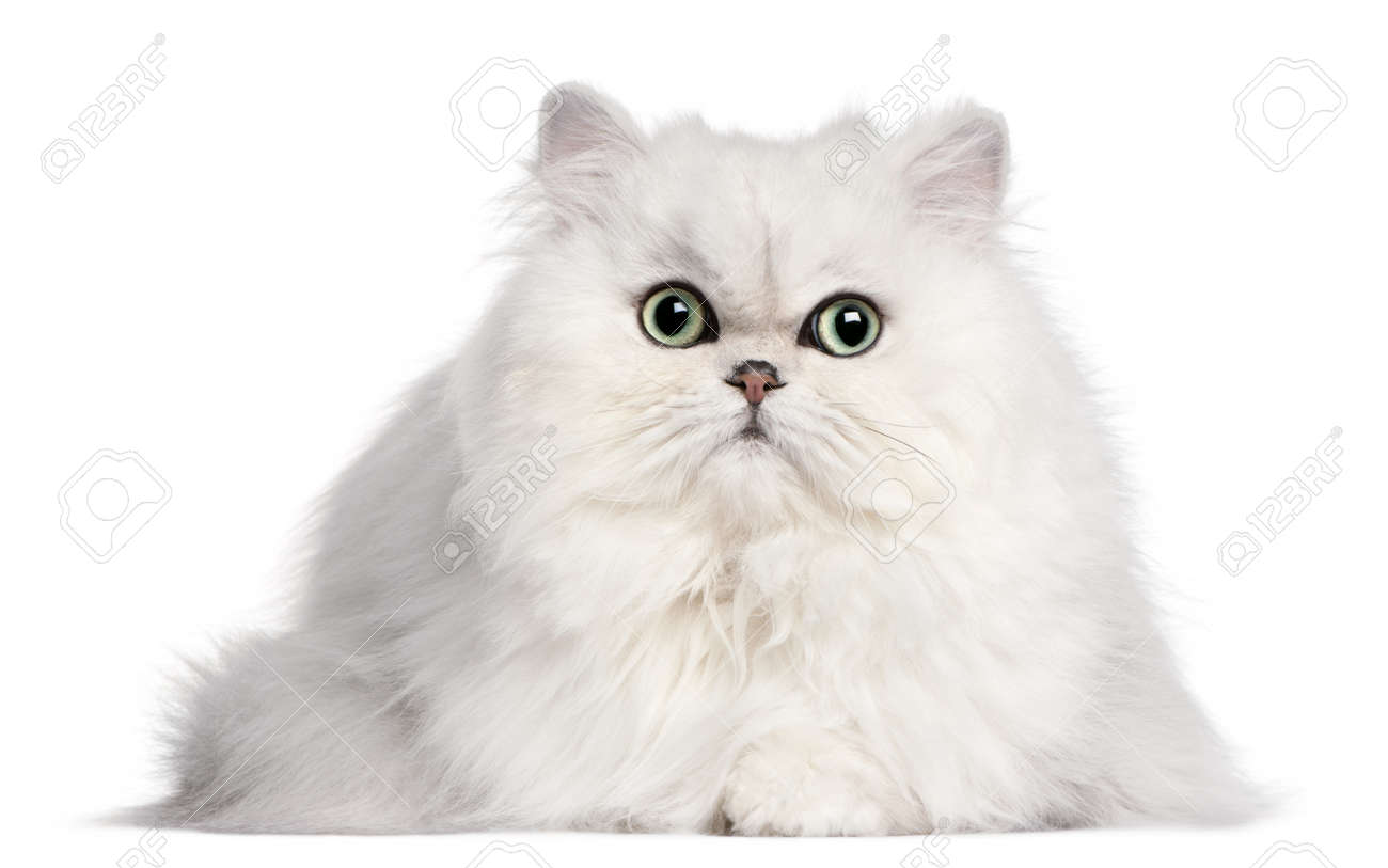 Persian cat, 2 years old, in front of white background Stock Photo - 8972440