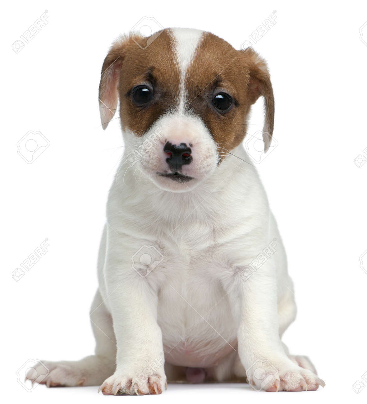 Jack Russell Terrier puppy, 7 weeks old, sitting in front of white background Stock Photo - 9151318