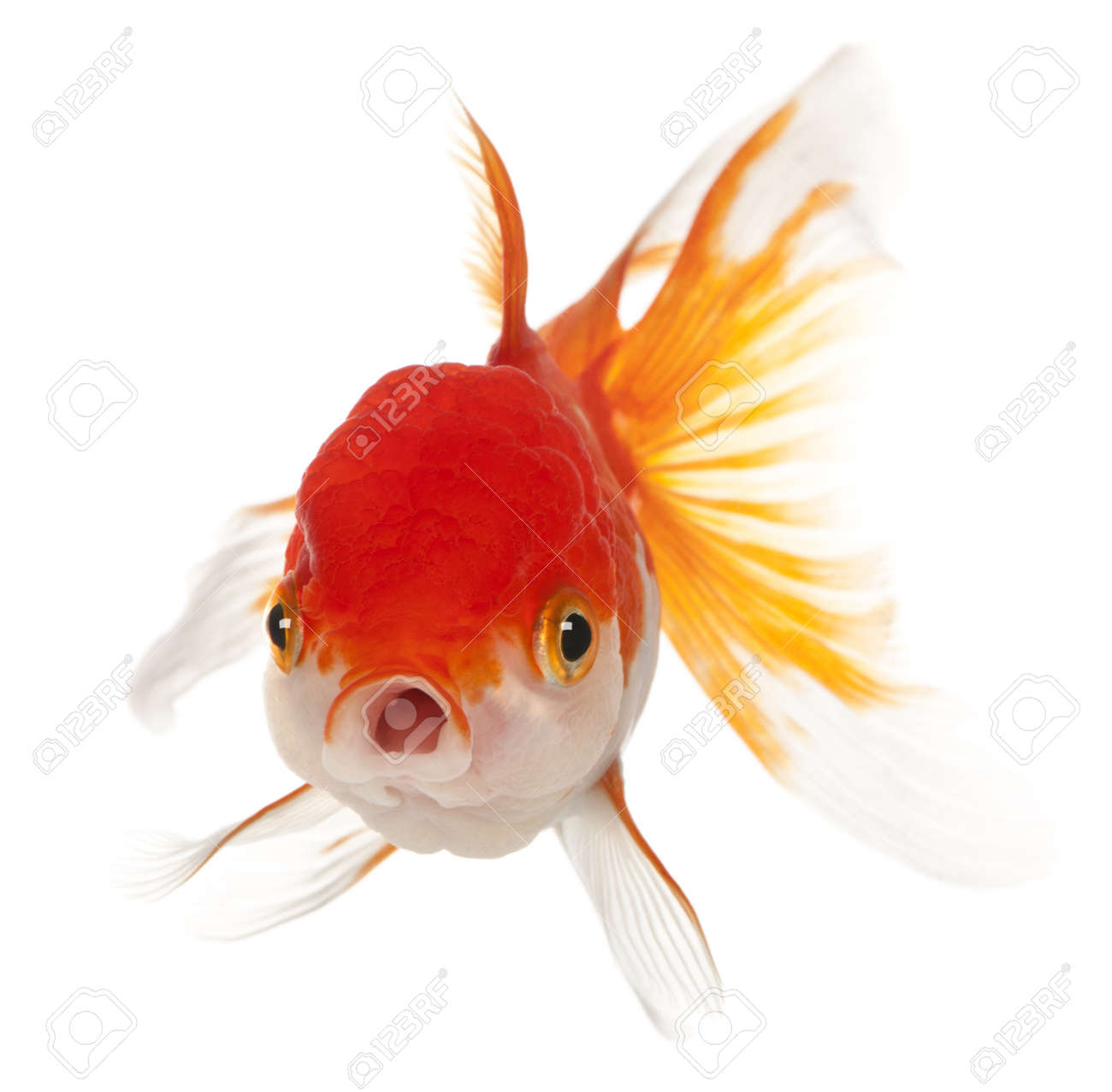 Goldfish Mouth Stock Photos. Royalty Free Goldfish Mouth Images