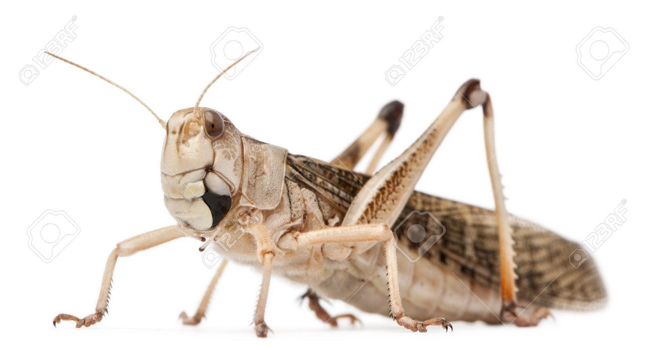 Migratory locust, Locusta migratoria, in front of white background Stock Photo - 9563357