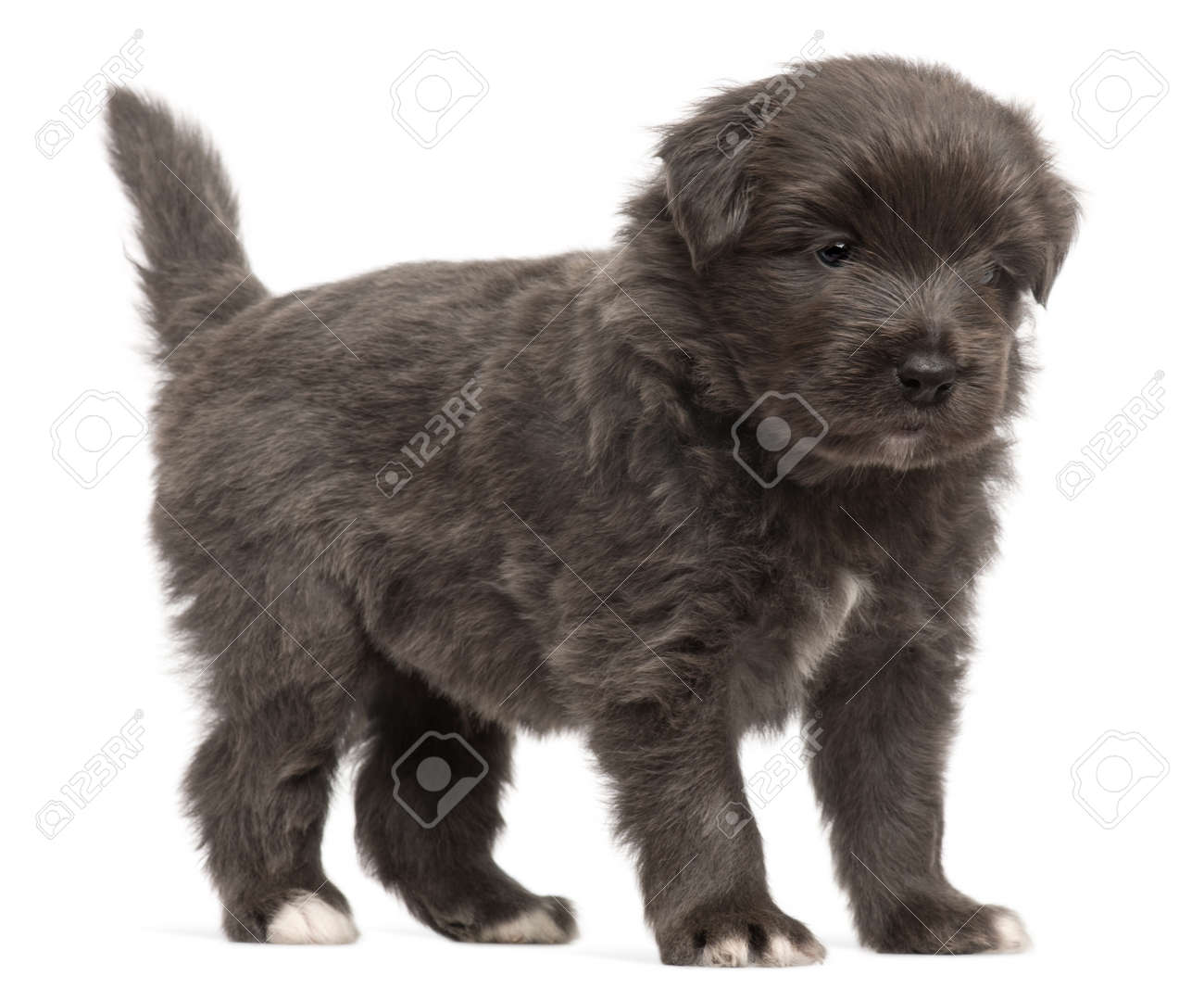 Pyrenean Shepherd puppy, 4 weeks old, in front of white background Stock Photo - 9563887