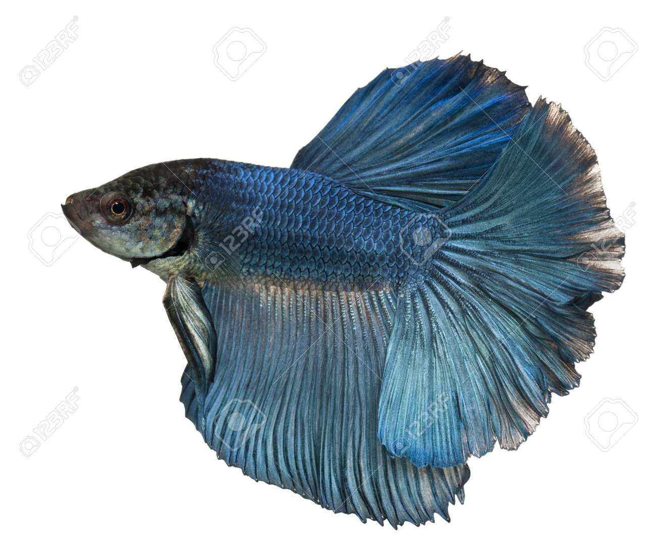 Siamese Betta Fish | Blue Siamese Fighting Fish Betta Splendens Swimming In Front