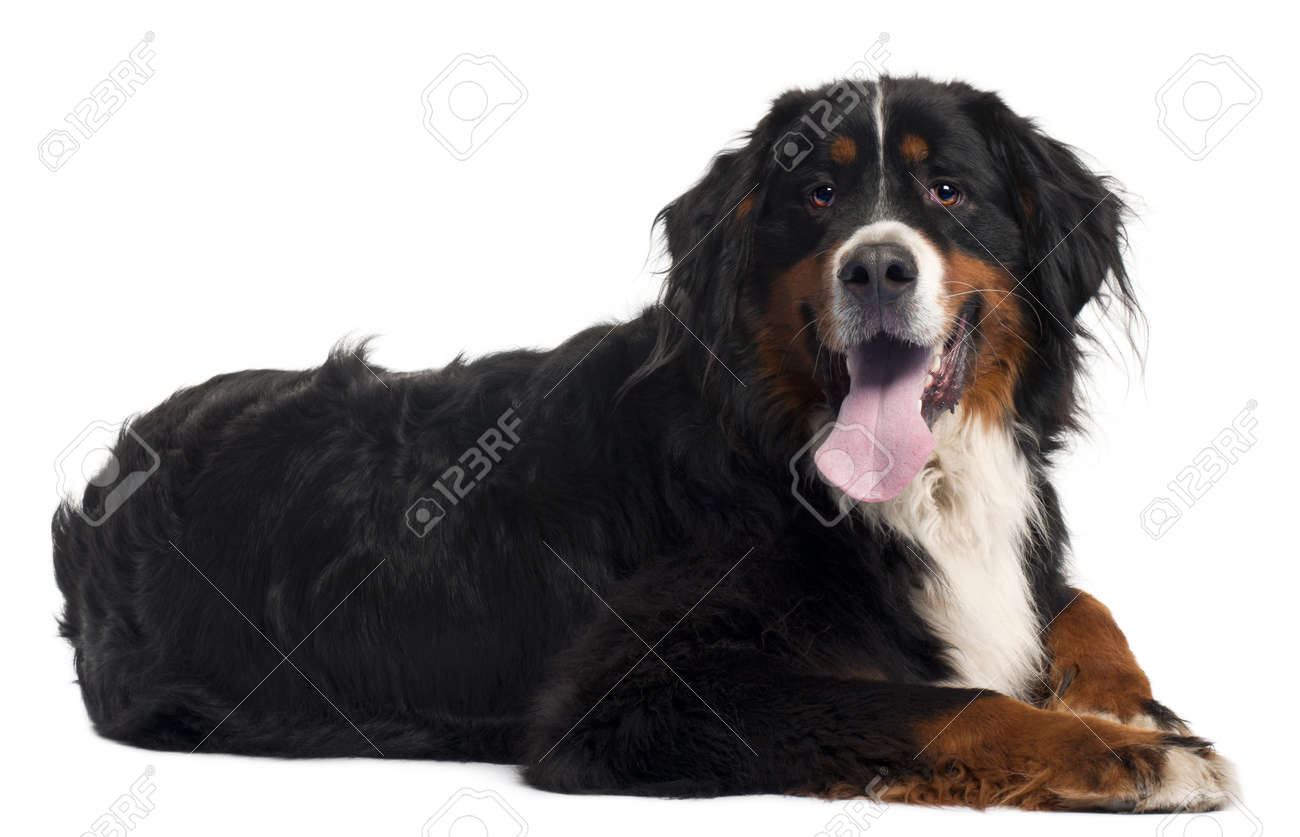 Bernese mountain dog, 2 years old, lying in front of white background Stock Photo - 9563561