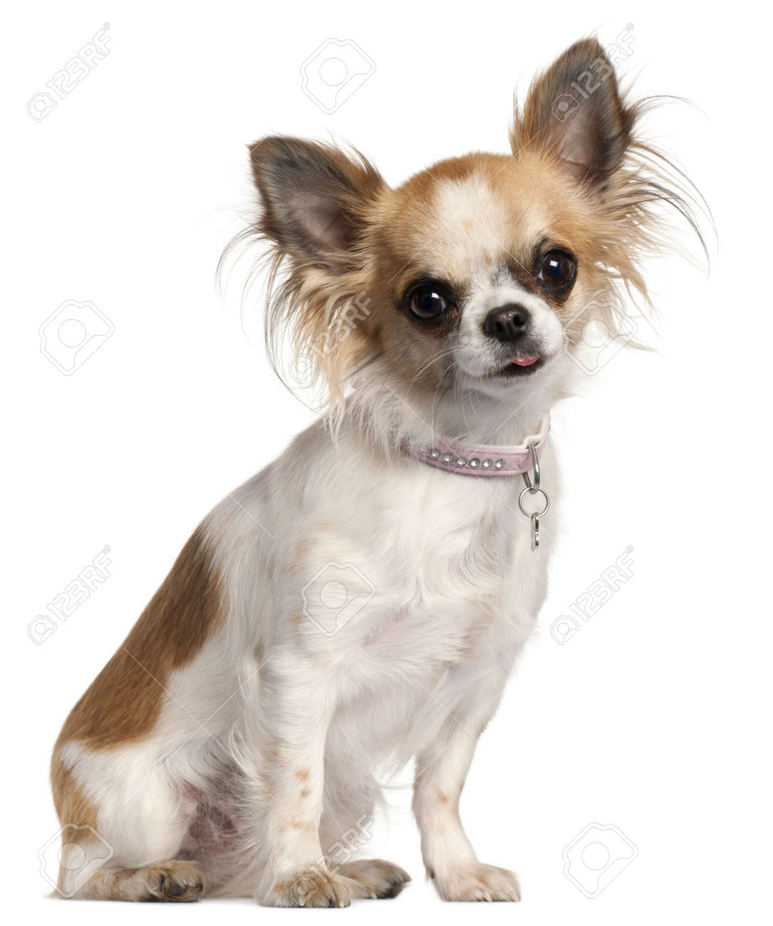 Chihuahua, 18 months old, sitting in front of white background Stock Photo - 9563602