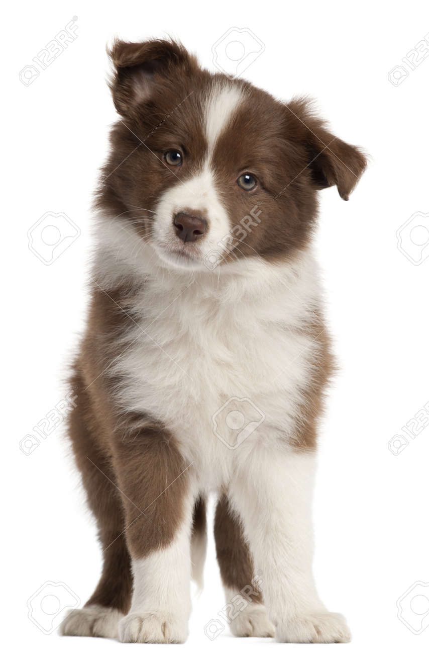 Border Collie Puppy 8 Weeks Old Standing In Front Of White Stock