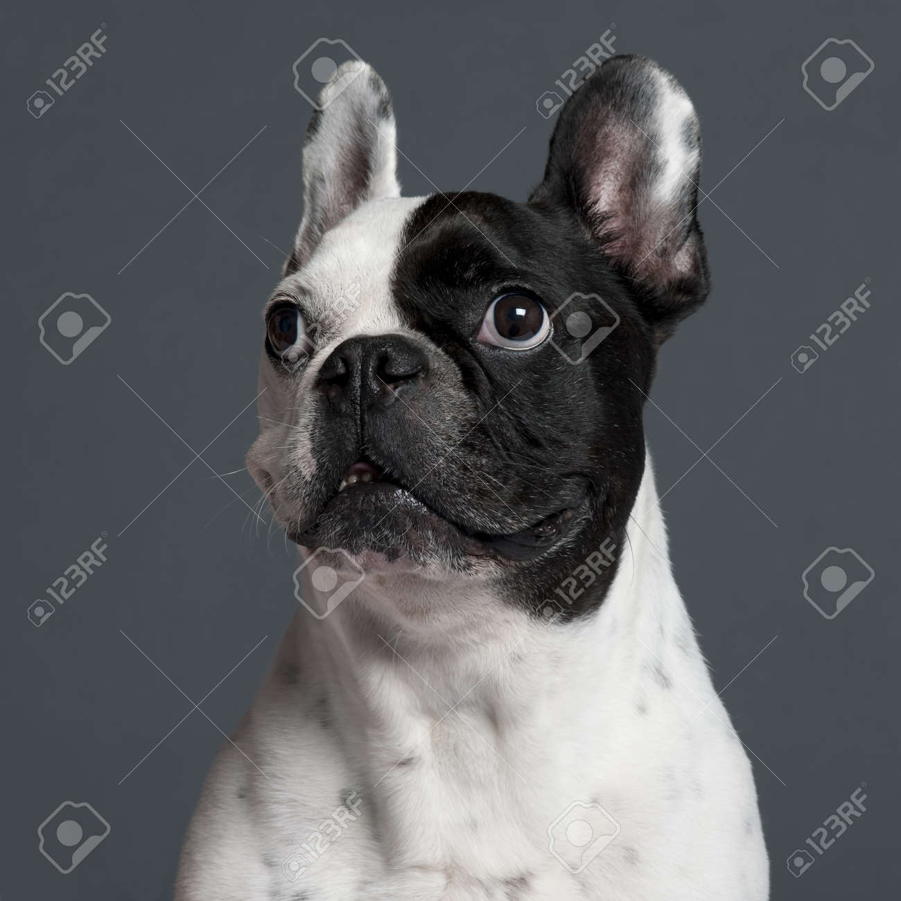 Close-up of French Bulldog, 9 years old, in front of grey background Stock Photo - 9750341