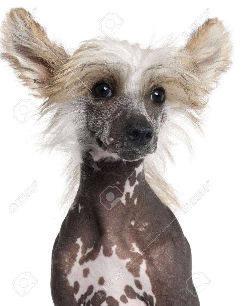 Chinese Crested 4 Months Close-up of Chinese Crested