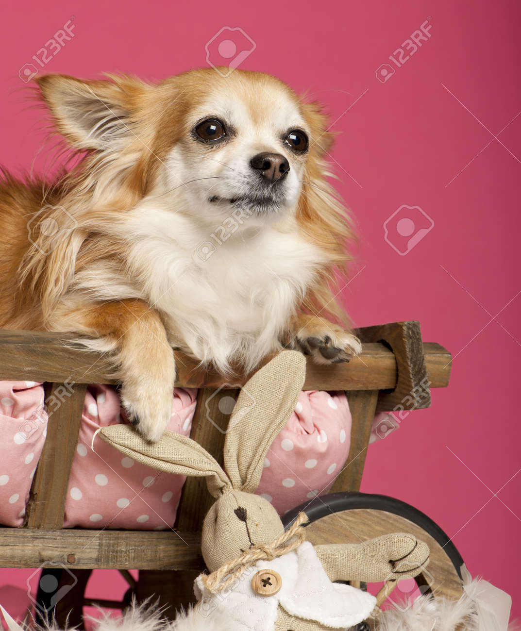 Chihuahua Lying In Wooden Dog Bed Wagon With Stuffed Animal In
