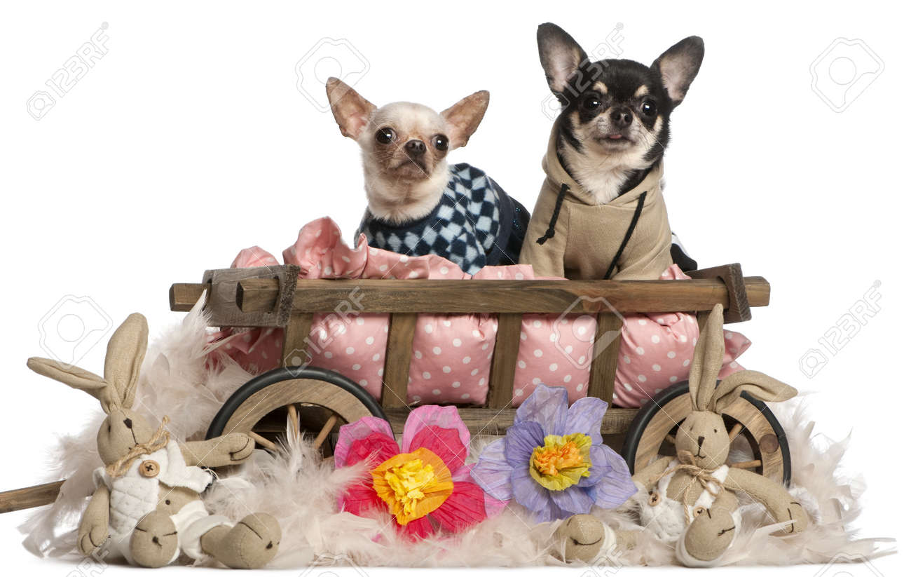 Chihuahuas Sitting In Dog Bed Wagon With Stuffed Animals In Front