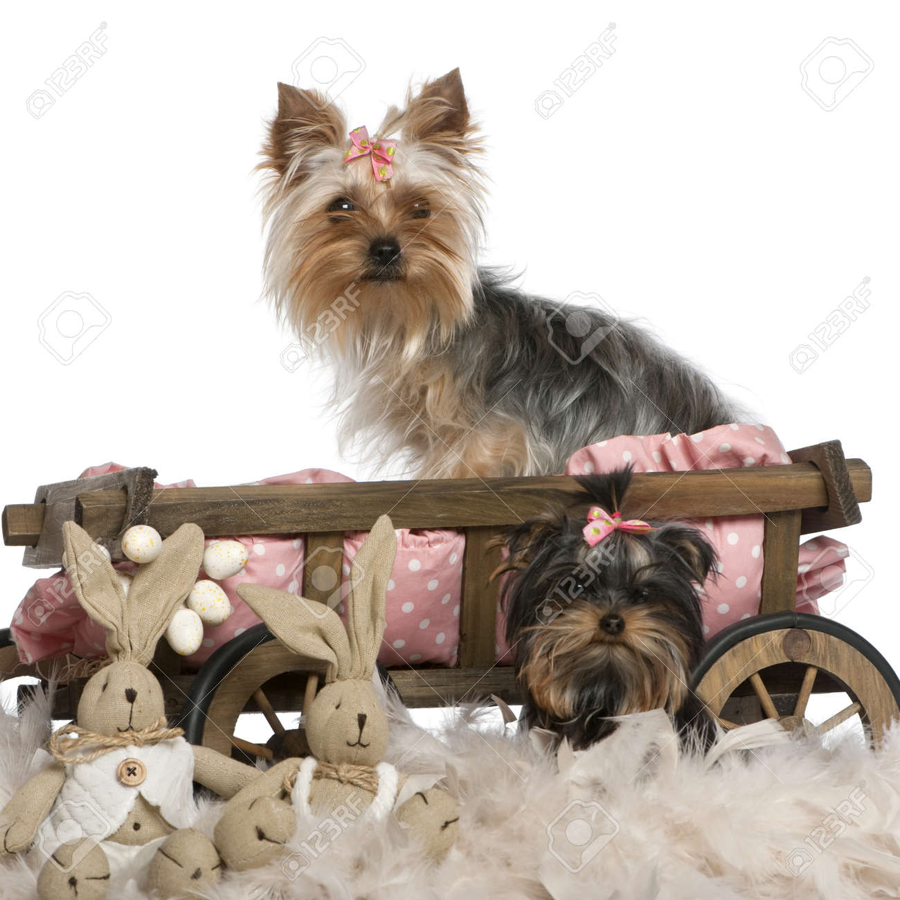 Two Yorkshire Terriers 5 And 9 Months Old With Dog Bed Wagon