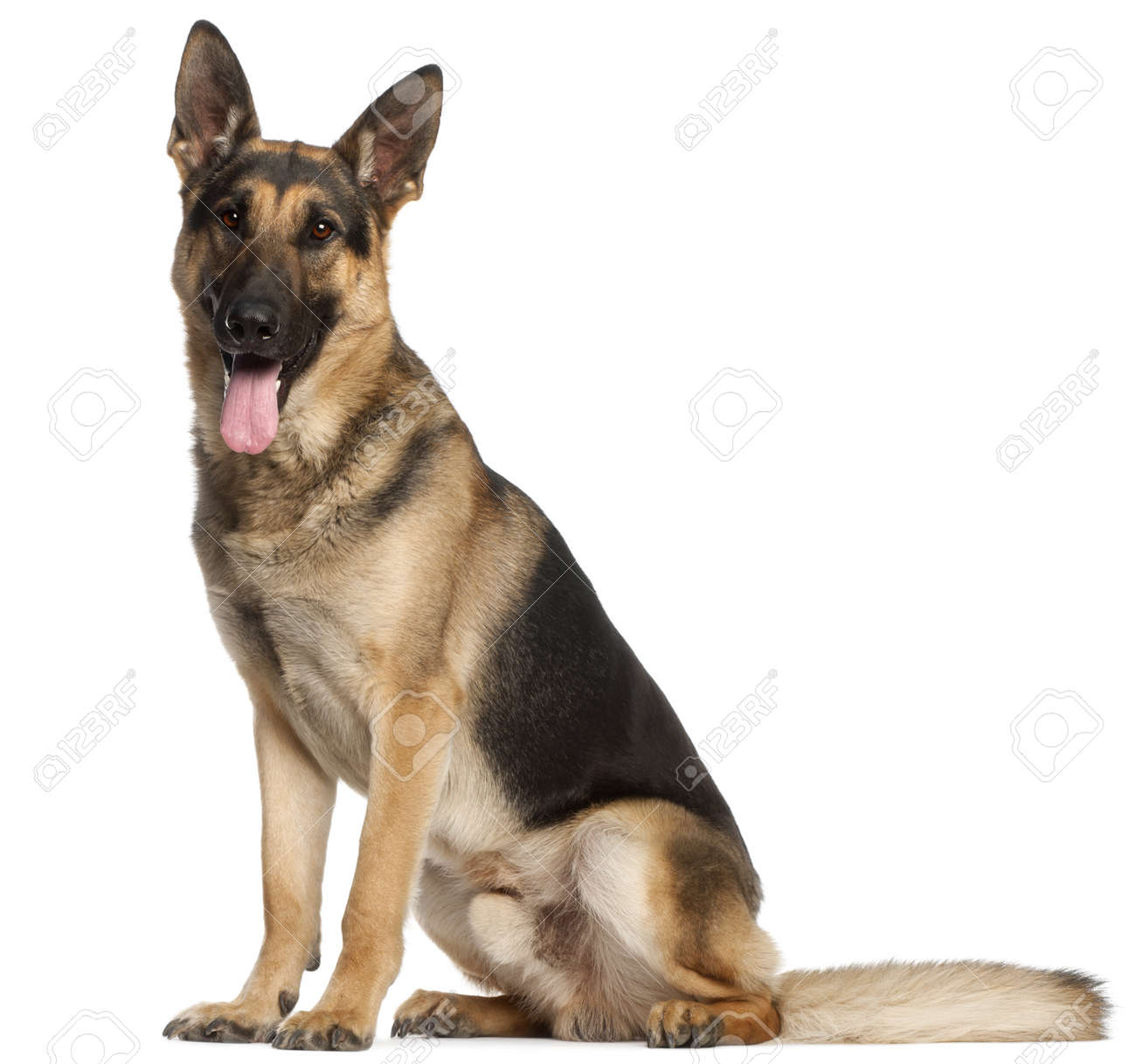 German Shepherd Dog, 2 and a half years old, sitting in front of white background Stock Photo - 9750029