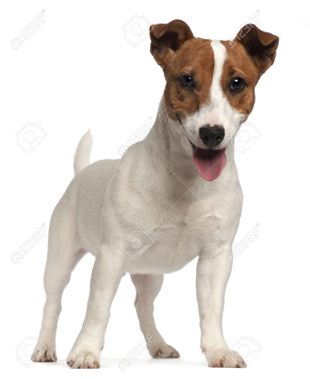 Jack Russell Terrier puppy, 6 months old, standing in front of white background Stock Photo - 9749046