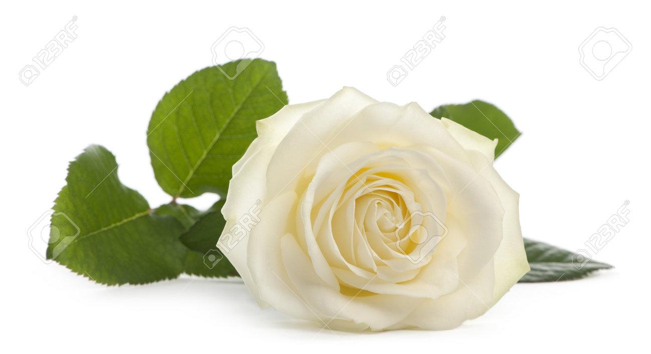 Una única Rosa Blanca Acostado Sobre Un Fondo Blanco Familia