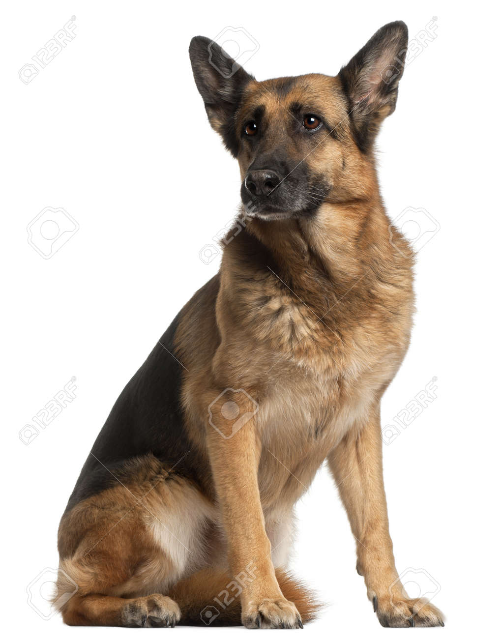 German Shepherd Dog 10 Years Old Sitting In Front Of White Stock Photo Picture And Royalty Free Image Image 9750337