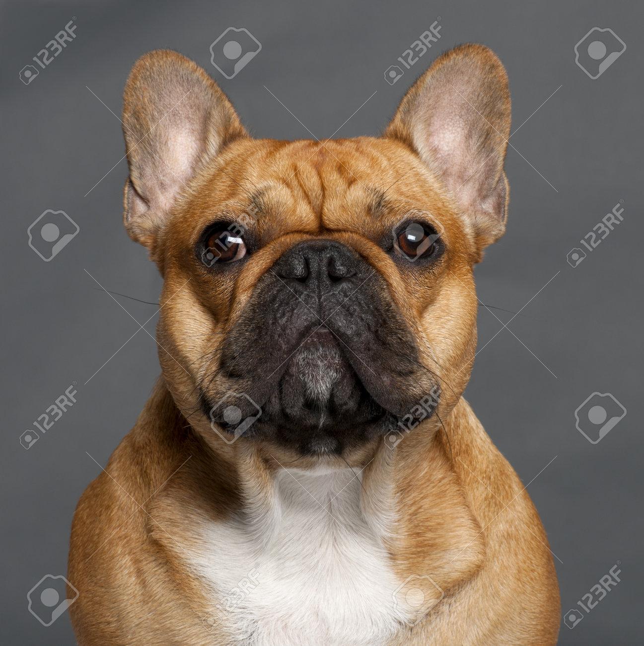 Immagini Stock Close Up Di Bulldog Francese 1 Anno Di Età Di