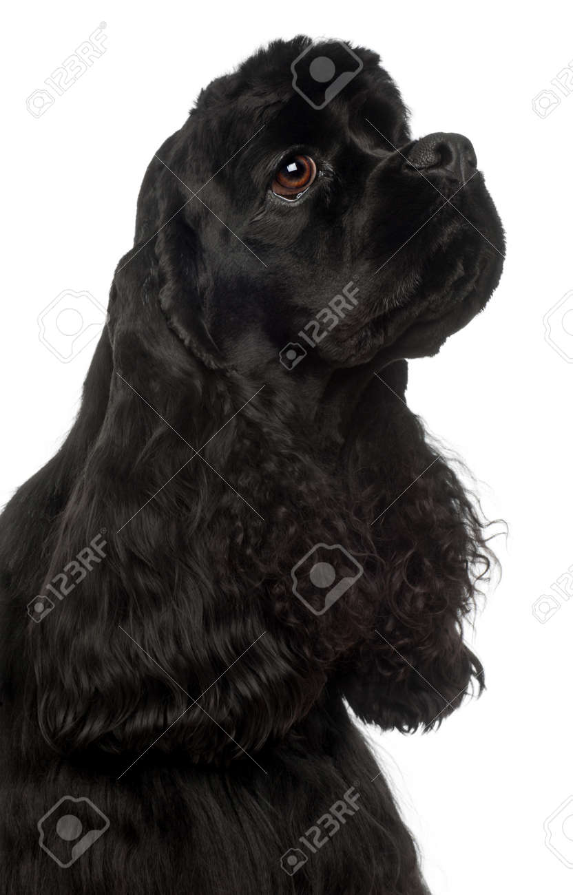 Close-up of American Cocker Spaniel, 1 year old, in front of white background Stock Photo - 10773006