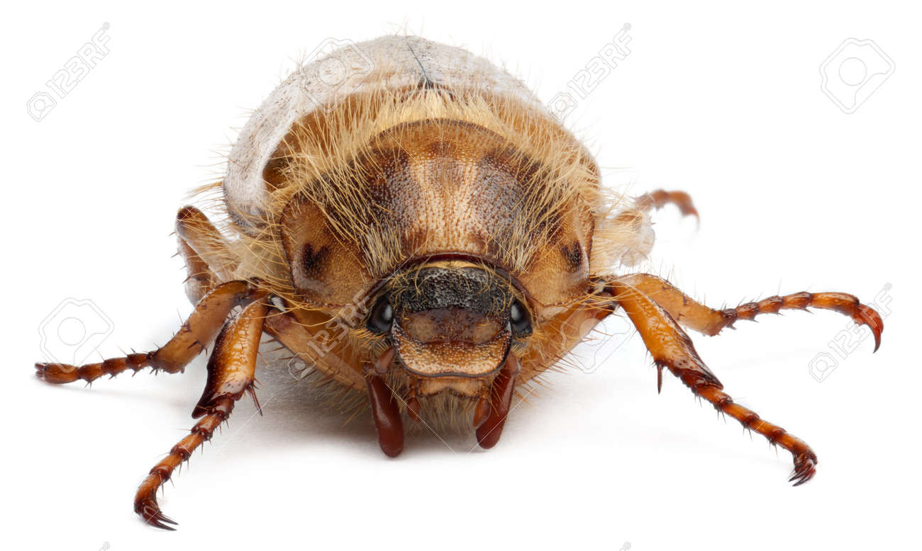 Summer chafer or European june beetle, Amphimallon solstitiale, in front of white background Stock Photo - 10764848