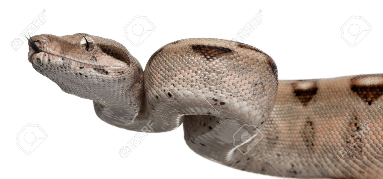 Salmon Boa constrictor, Boa constrictor, 2 months old, in front of white background Stock Photo - 11184998