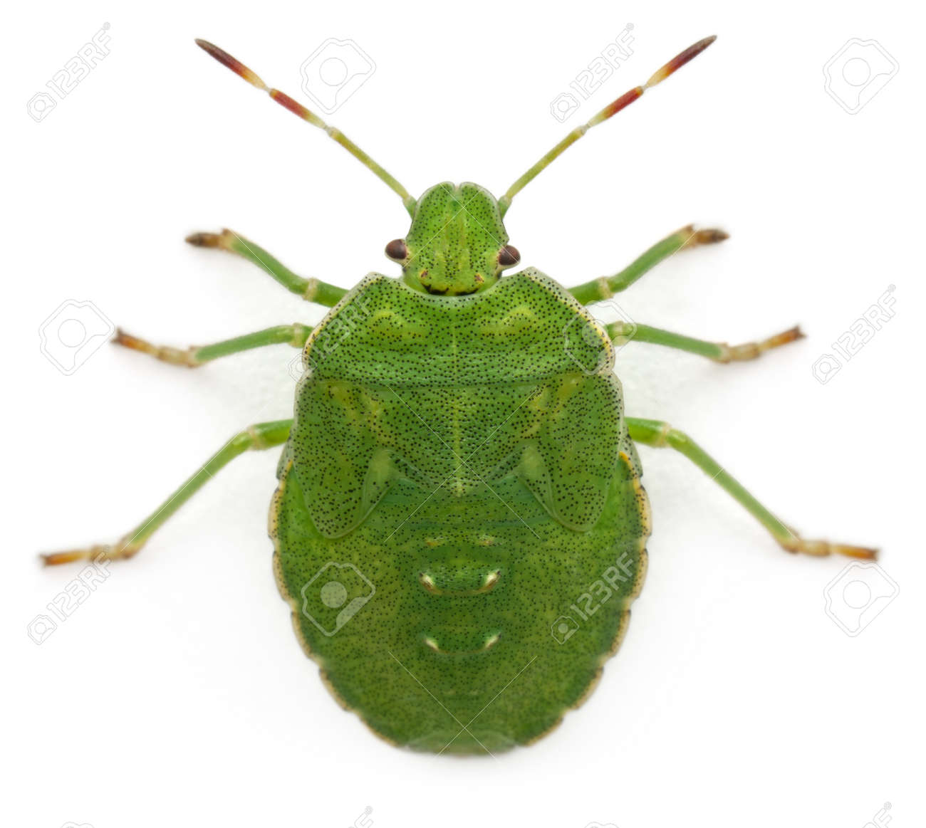 High angle view of a Green shield bug, Palomena prasina, in front of white background Stock Photo - 11187966