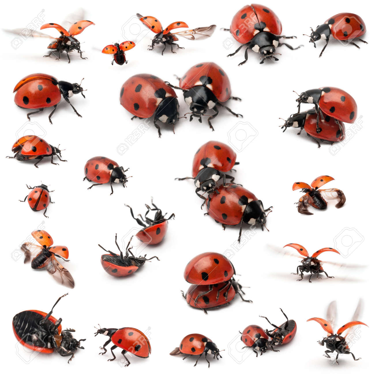 Collection of Seven-spot ladybirds, Coccinella septempunctata, in front of white background - 11183204