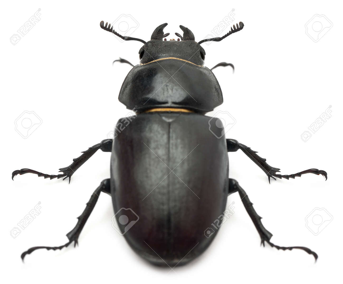 Female Lucanus cervus (stag beetle) in front of white background - 11184873