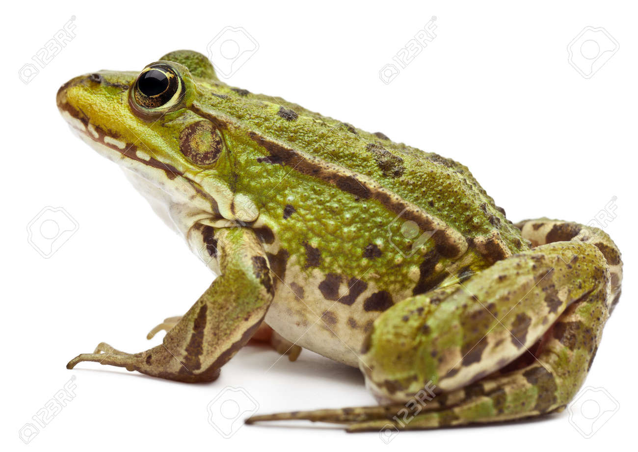 Common European frog or Edible Frog, Rana esculenta, in front of white background - 11183398