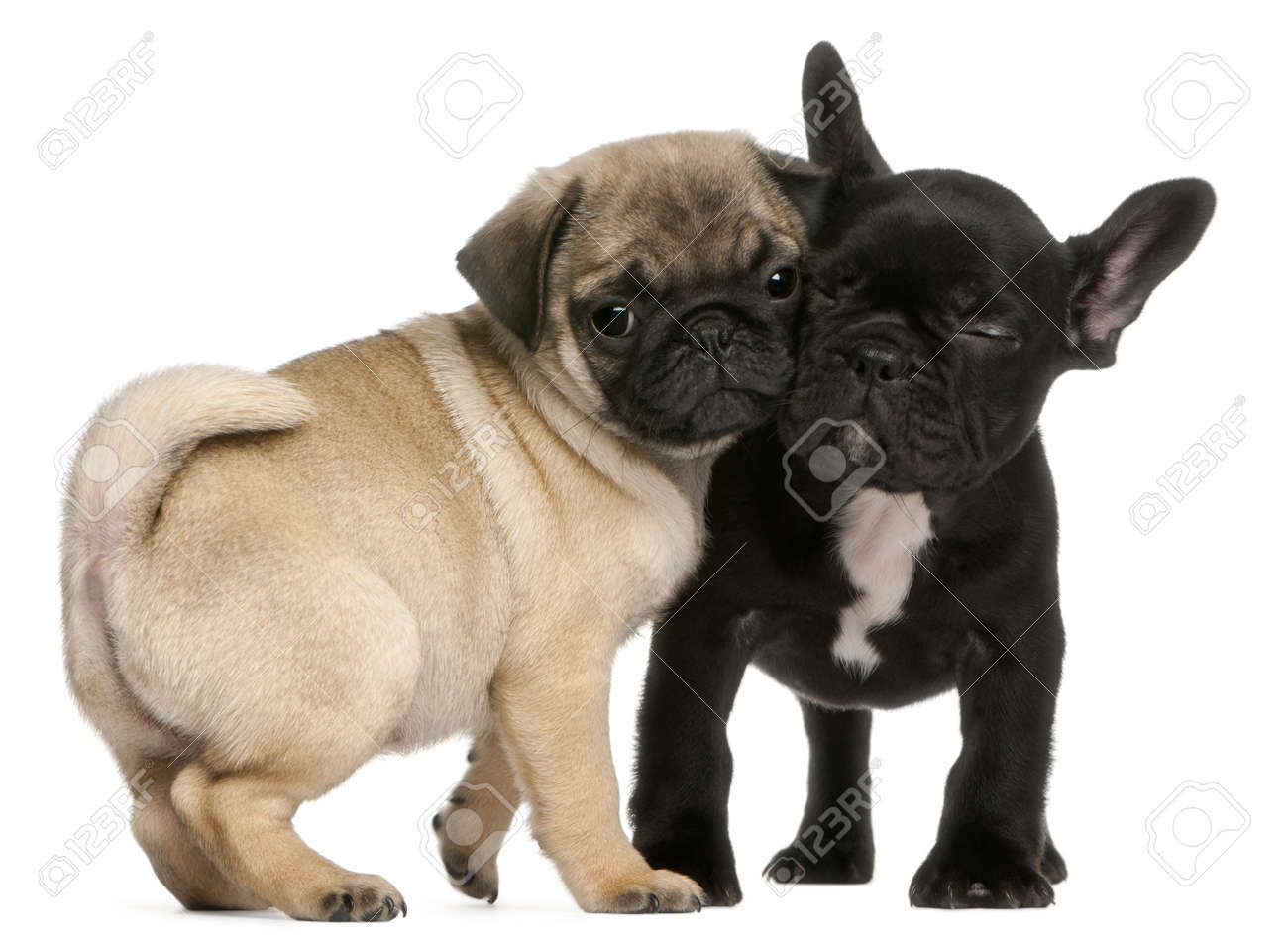 black pug stock photos royalty free black pug images and pictures