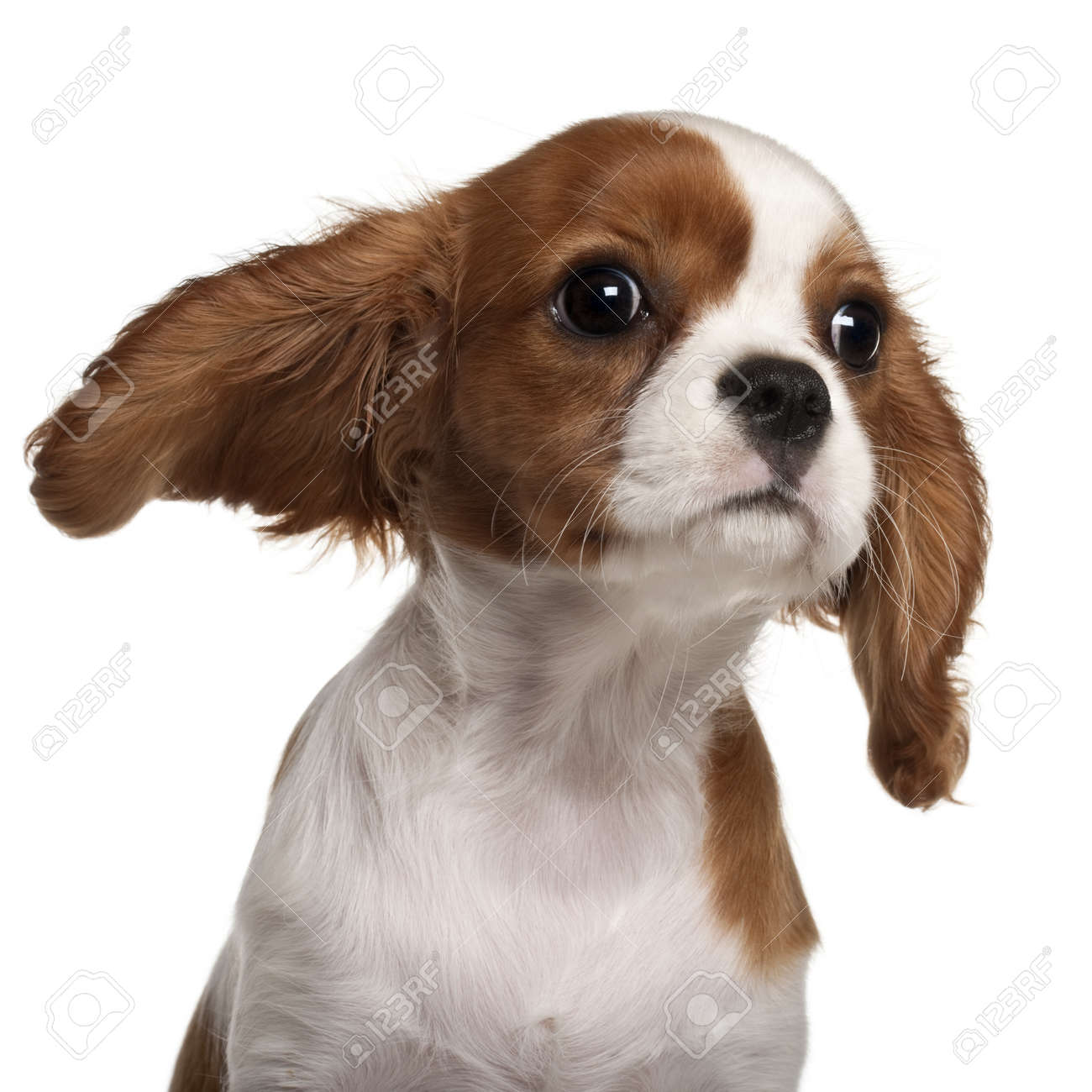 Close up of cavalier king charles spaniel puppy 3 months old close up of cavalier king charles spaniel puppy 3 months old in front thecheapjerseys Images