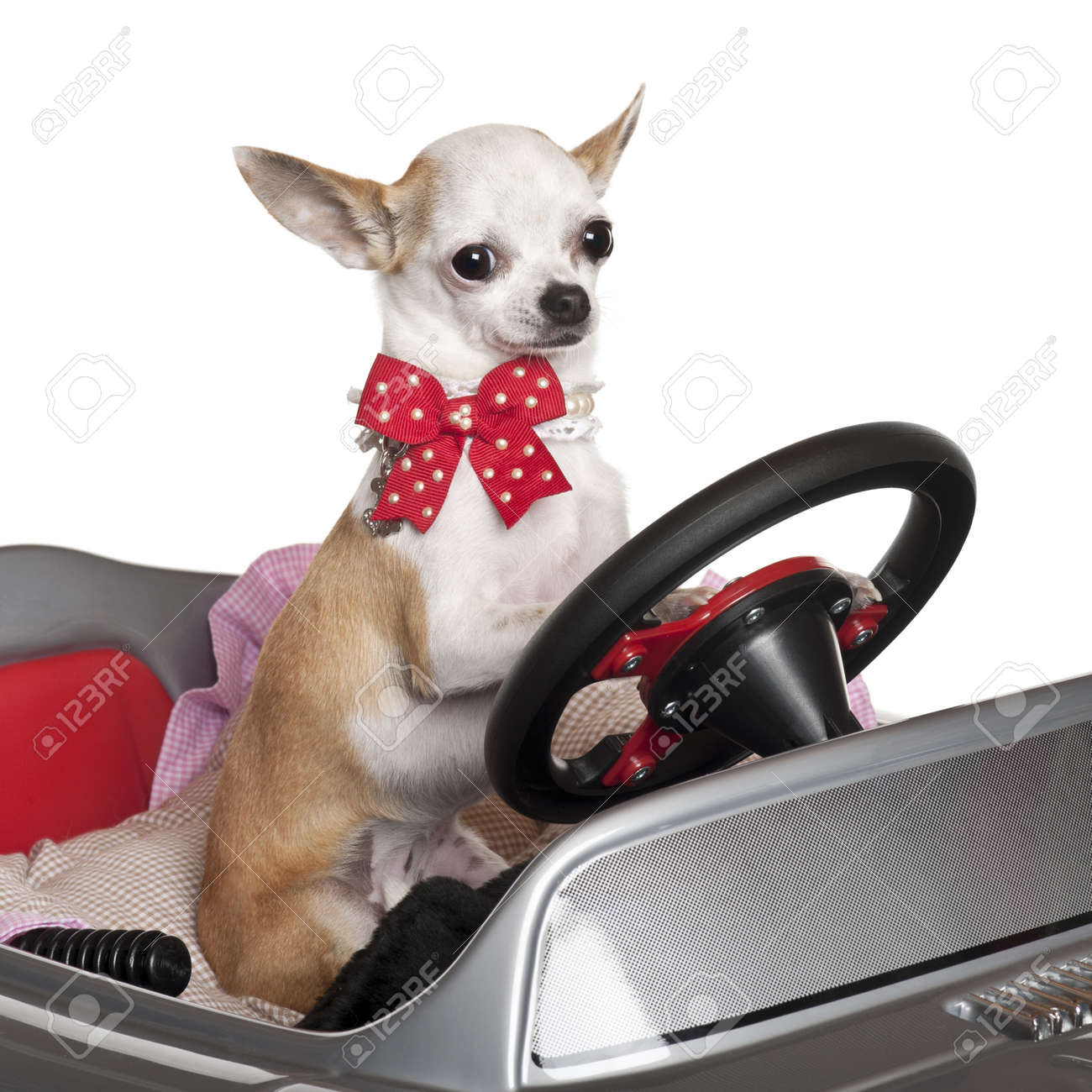 Close-up of Chihuahua puppy, 6 months old, driving convertible in front of white background Stock Photo - 11188825