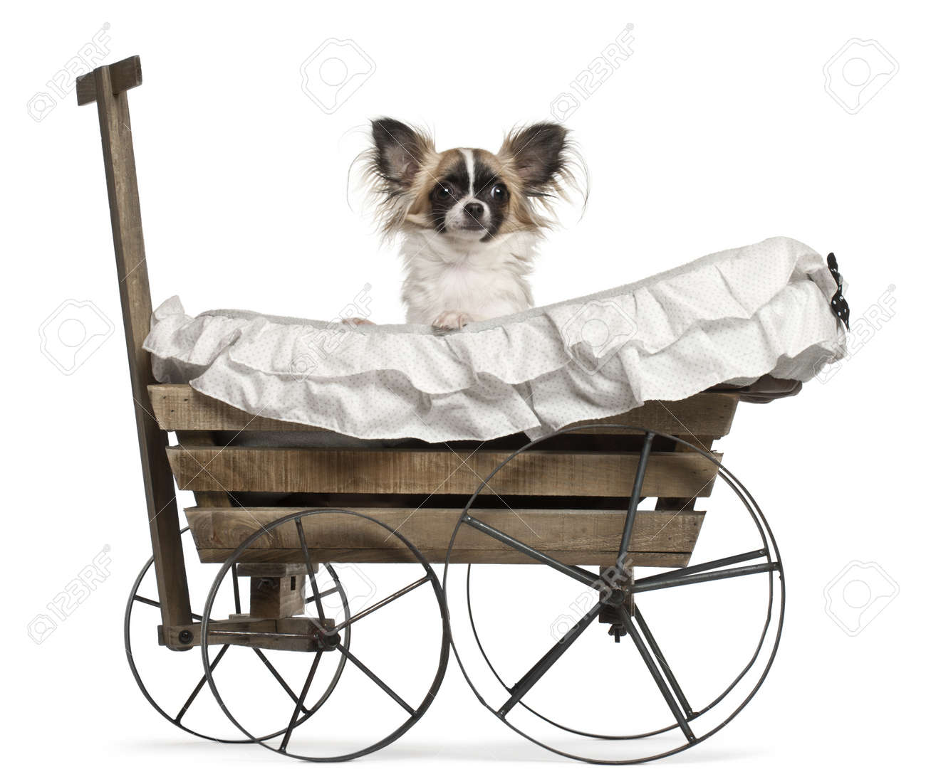 Chihuahua, 10 months old, sitting in old-fashioned wagon in front of white background Stock Photo - 11188539
