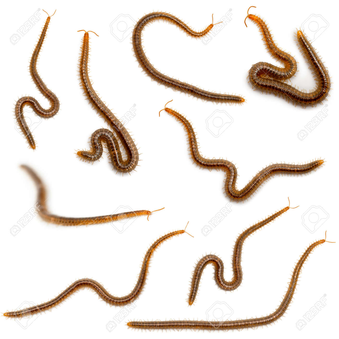 Collage of centipedes in front of white background Stock Photo - 11568256