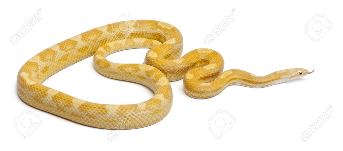 Butter mothley Corn Snake or Red Rat Snake, Pantherophis guttatus, in front of white background Stock Photo - 11568311