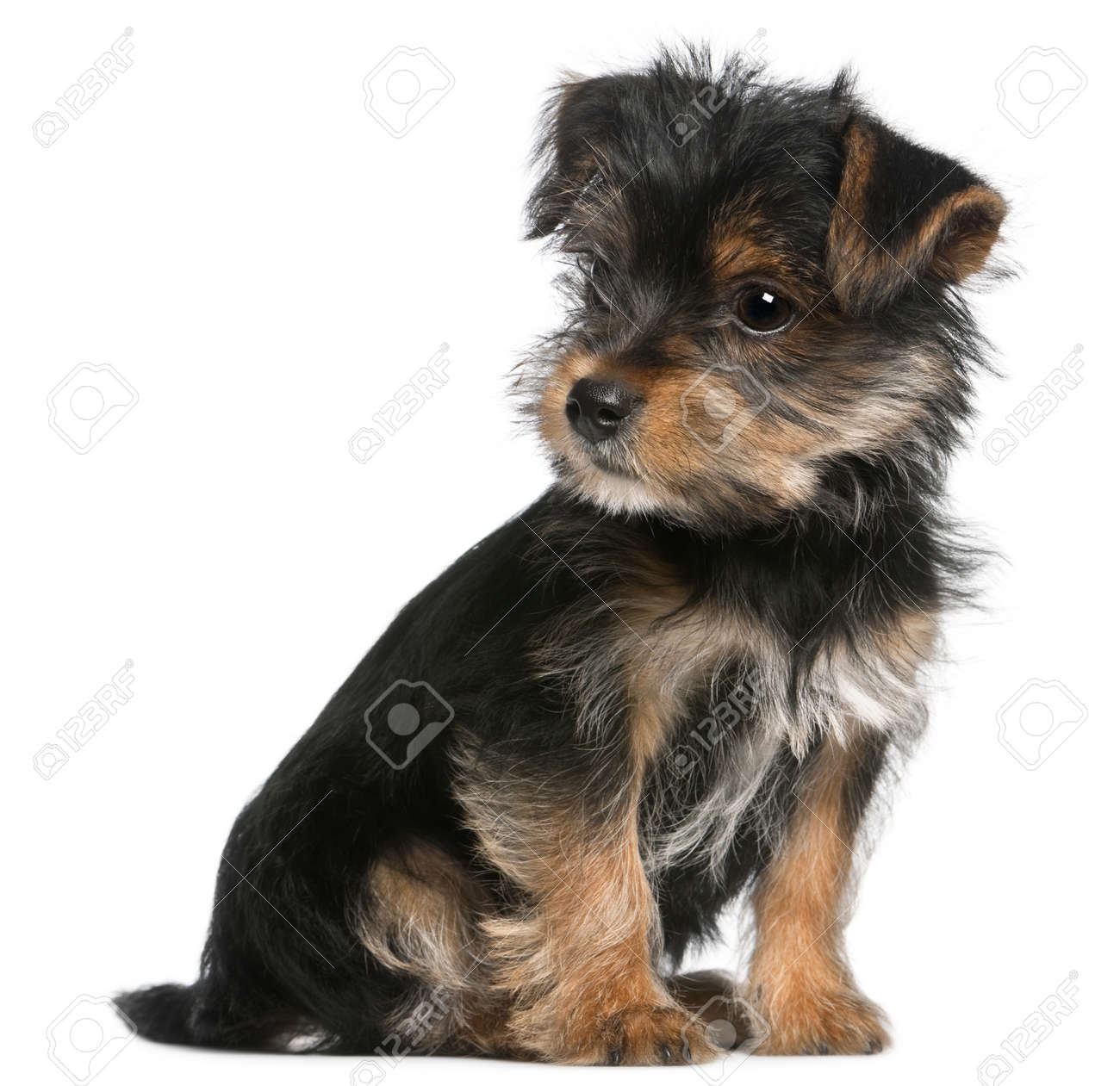 Yorkshire Terrier Puppy 3 Months Old Sitting In Front Of White