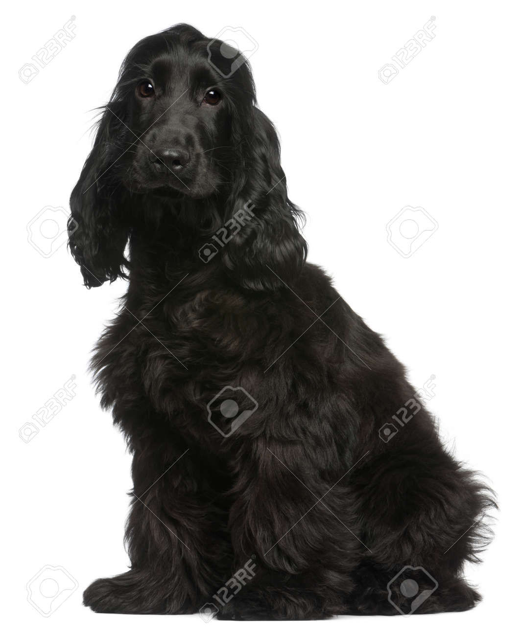 English Cocker Spaniel puppy, 5 months old, sitting in front of white background Stock Photo - 11568089