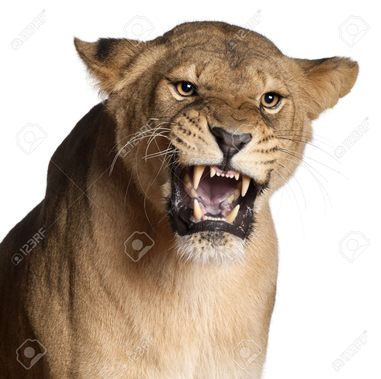 Lioness Front View Lioness  Panthera leo  3 years