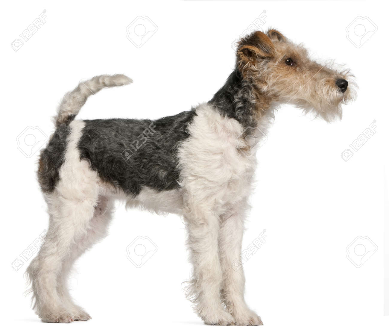 Fox Terrier Puppy, 4 Months Old, In Front Of White Background Stock ...