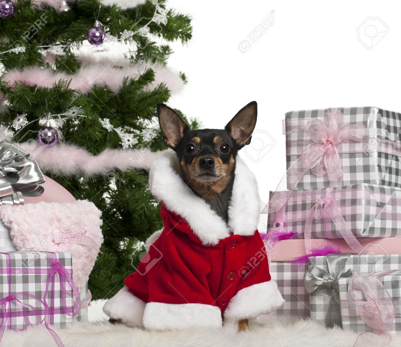 Zwergpinscher, 3 Jahre Alt, Trug Weihnachtsmann-Outfit Mit ...