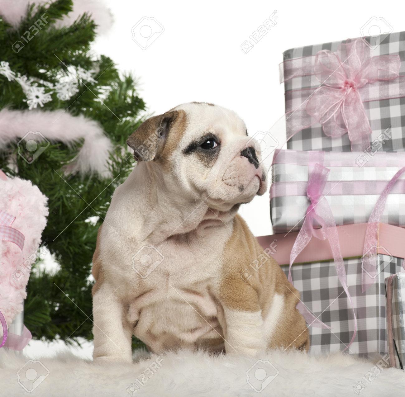 Regali Di Natale Inglese.Bulldog Inglese Cucciolo 2 Mesi Di Eta Seduto Con Albero Di Natale E Regali Di Fronte A Sfondo Bianco
