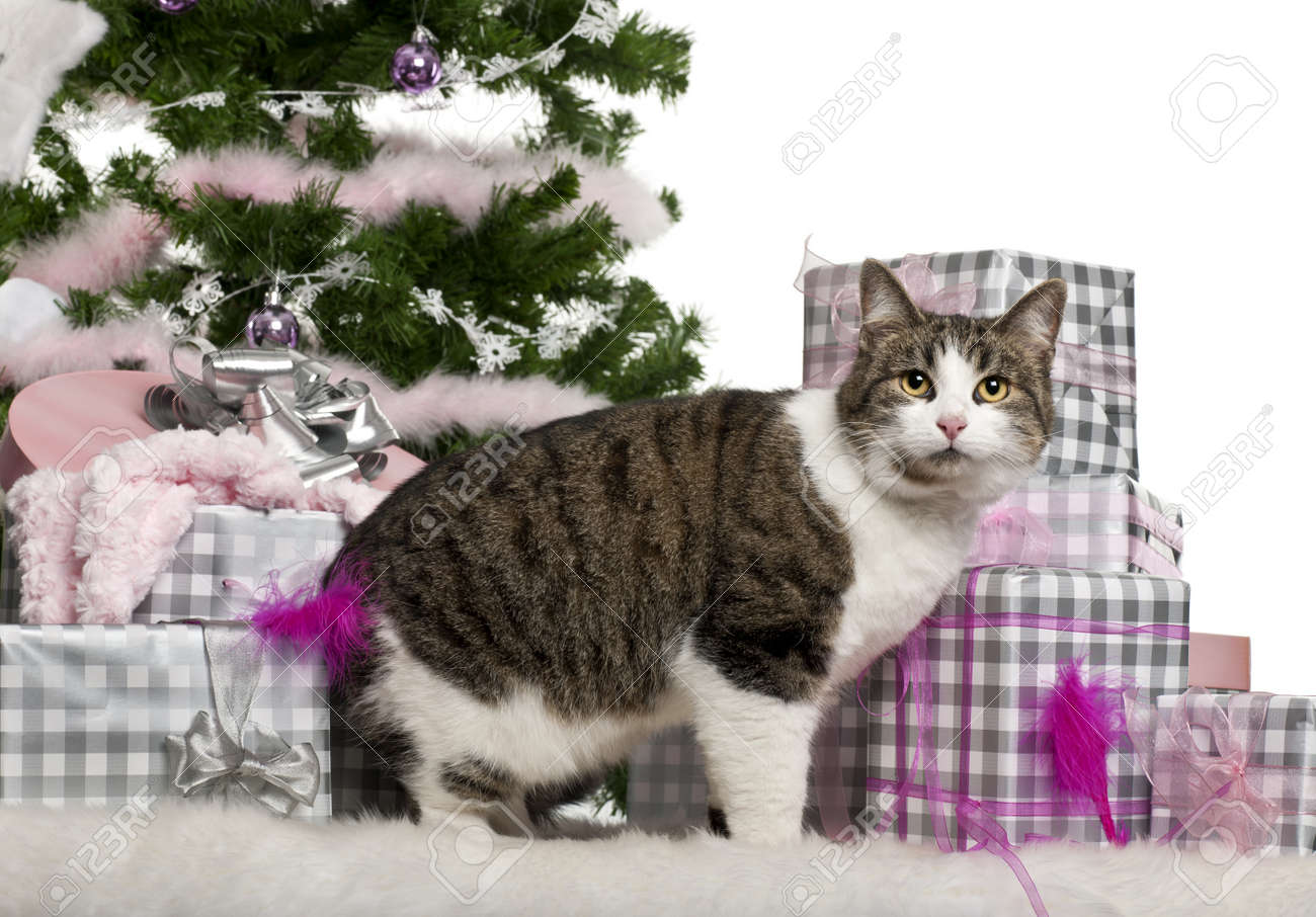 European Shorthair, 3 Years Old, With Christmas Gifts In Front ...