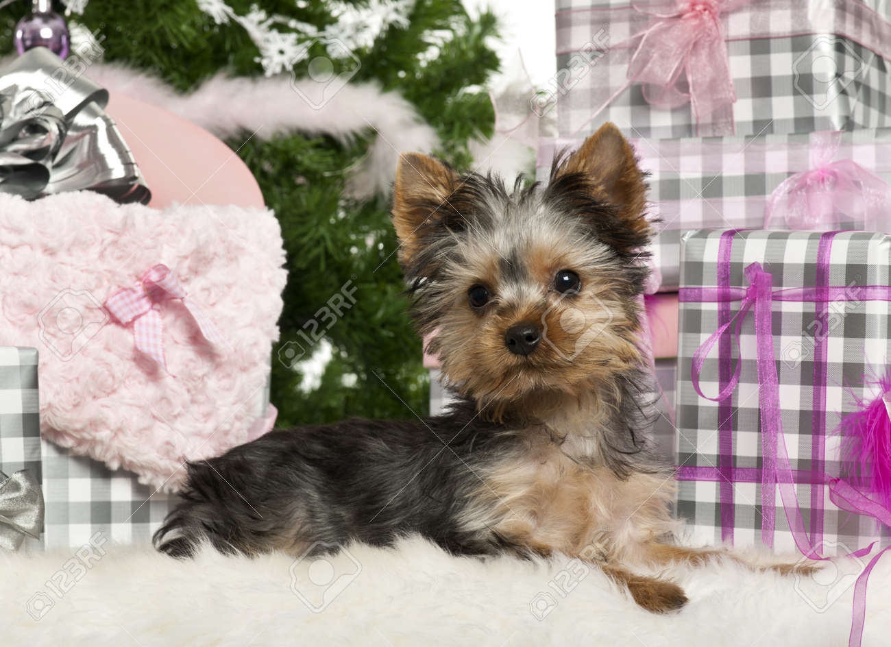 Yorkshire Terrier Puppy 3 Months Old Lying With Christmas Gifts