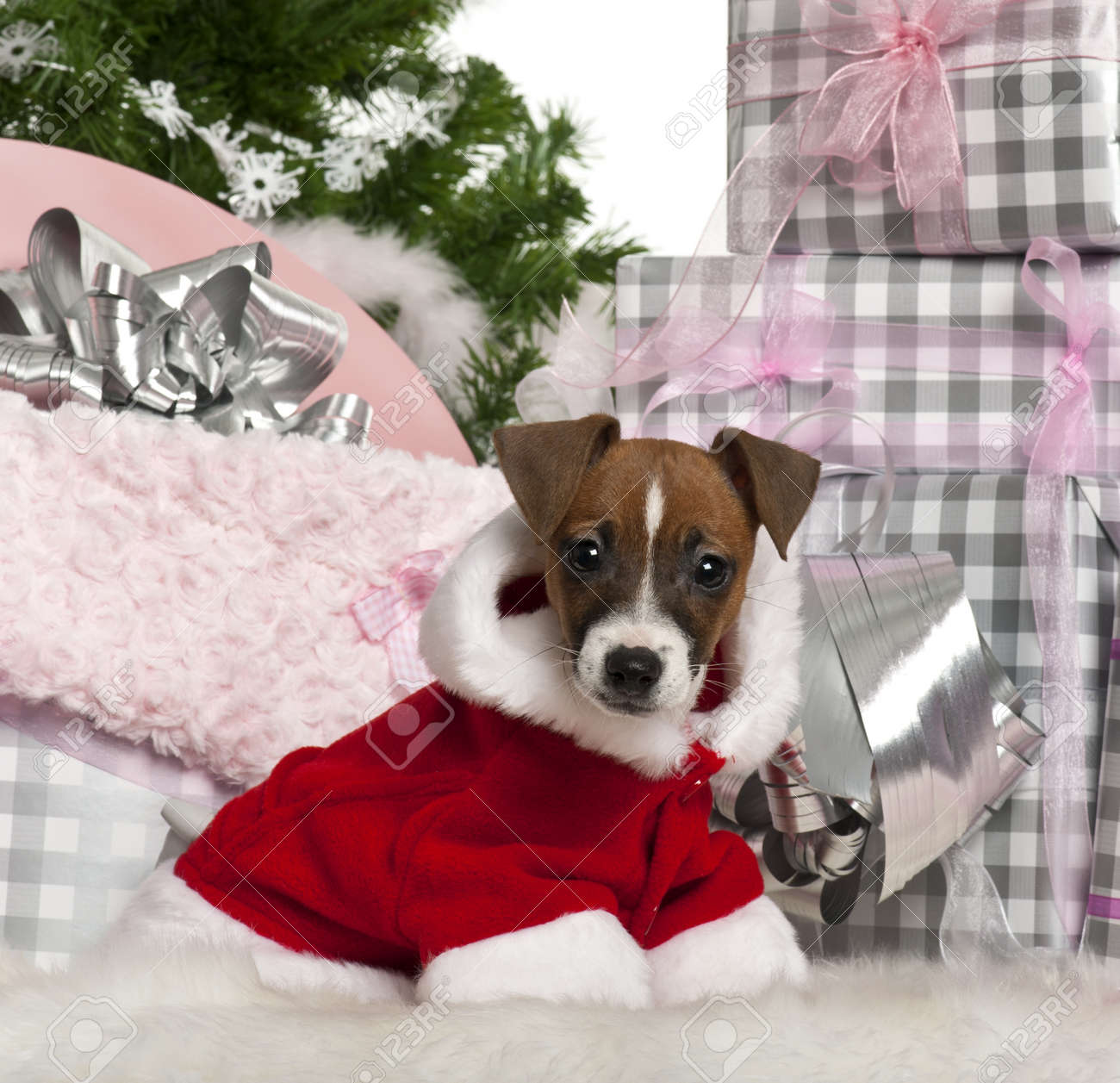 Jack Russell Terrier puppy, 11 weeks old, with Christmas gifts in front of white background Stock Photo - 11613520