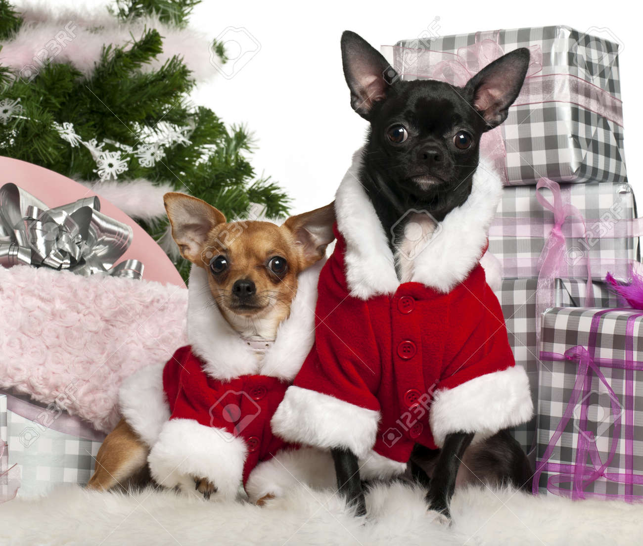 Chihuahuas, 18 Months Old And 1 Year Old, Wearing Santa Outfit ...