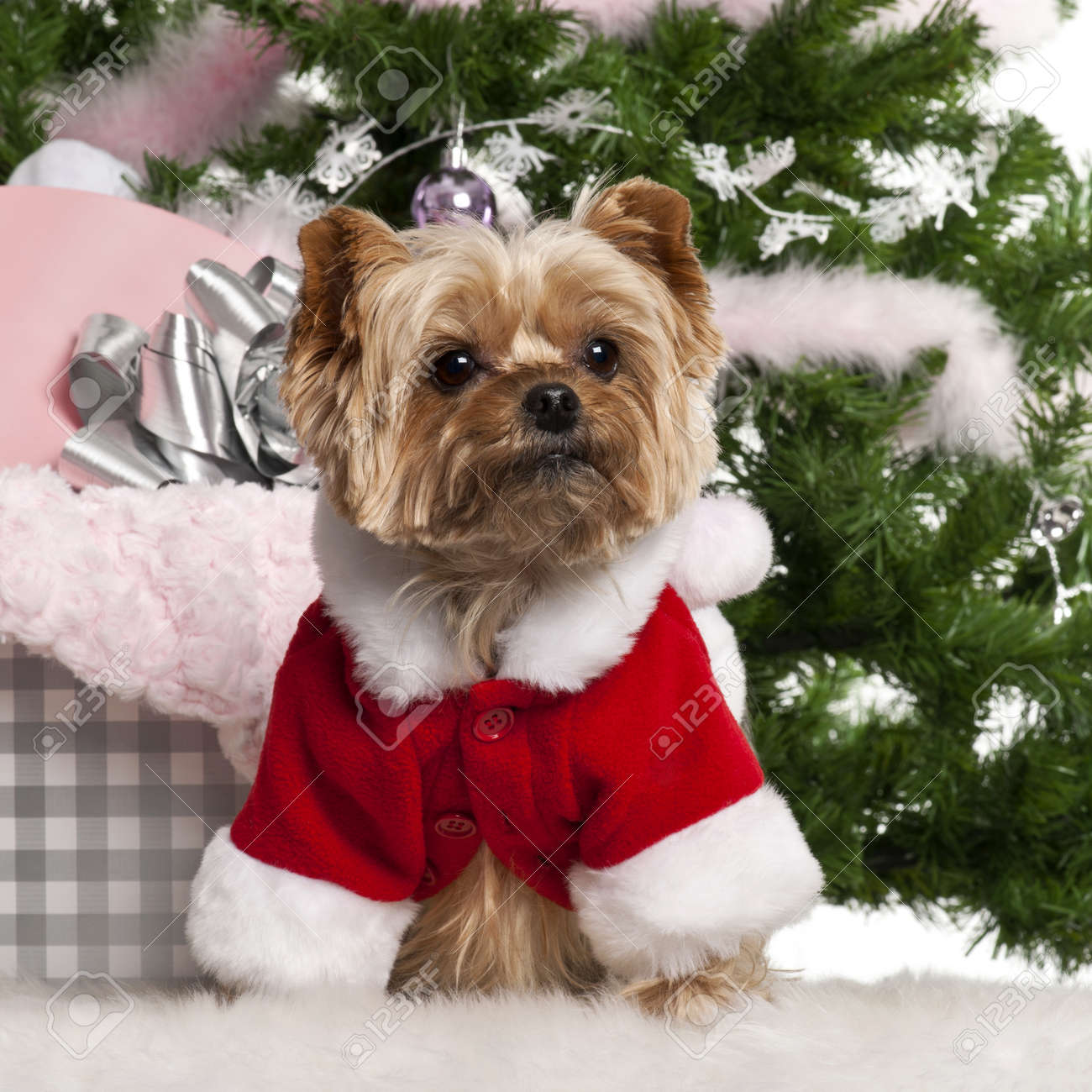 Yorkshire Terrier 7 Years Old Wearing Santa Outfit With Christmas