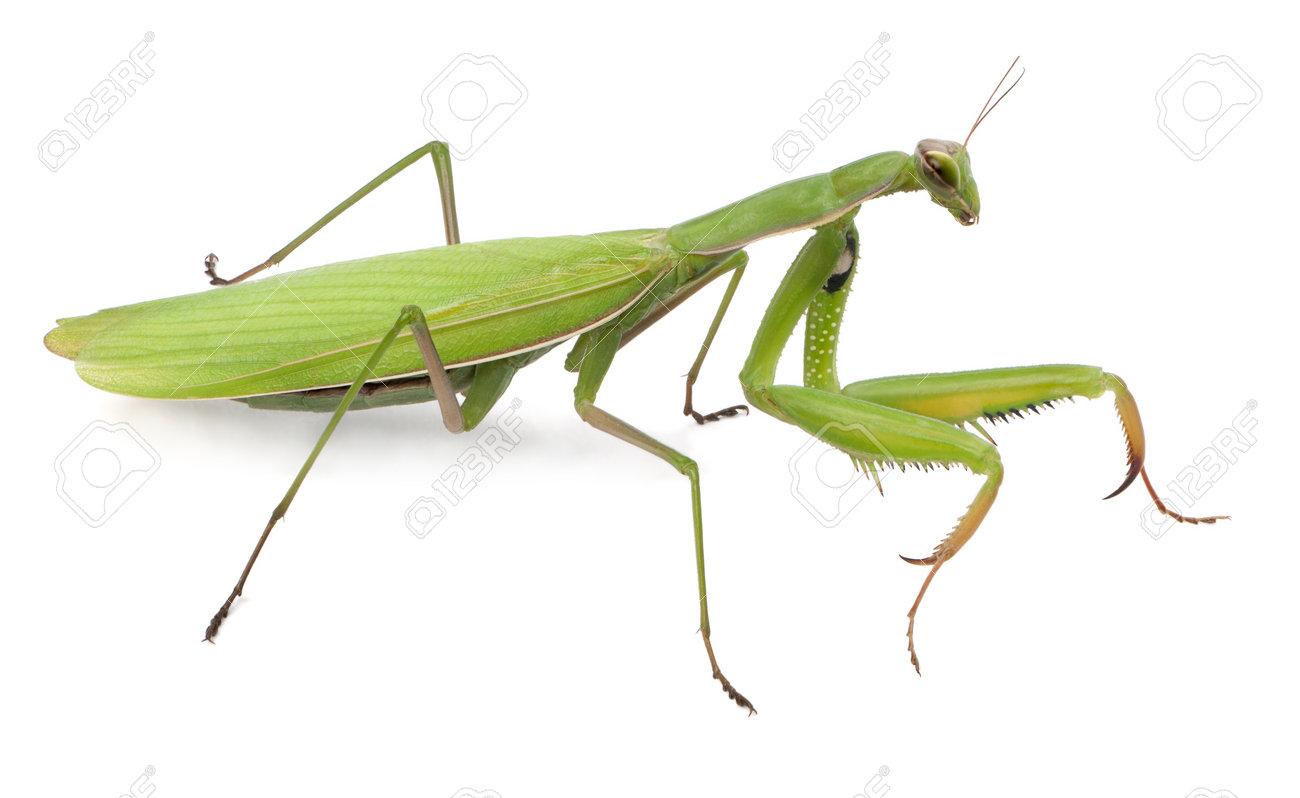 Female European Mantis Or Praying Mantis, Mantis Religiosa, In ...