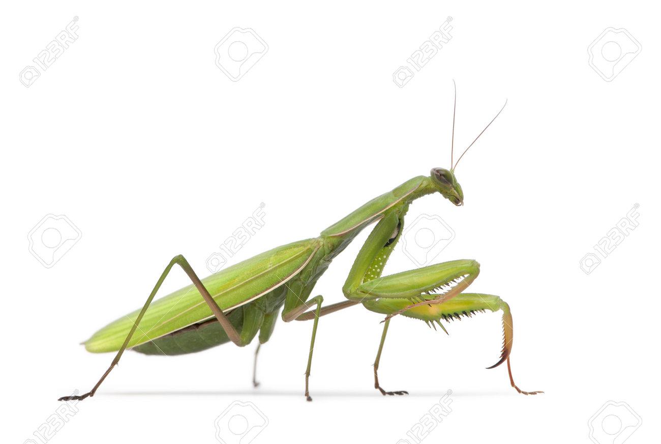 Praying Mantis Stock Photos & Pictures. Royalty Free Praying ...