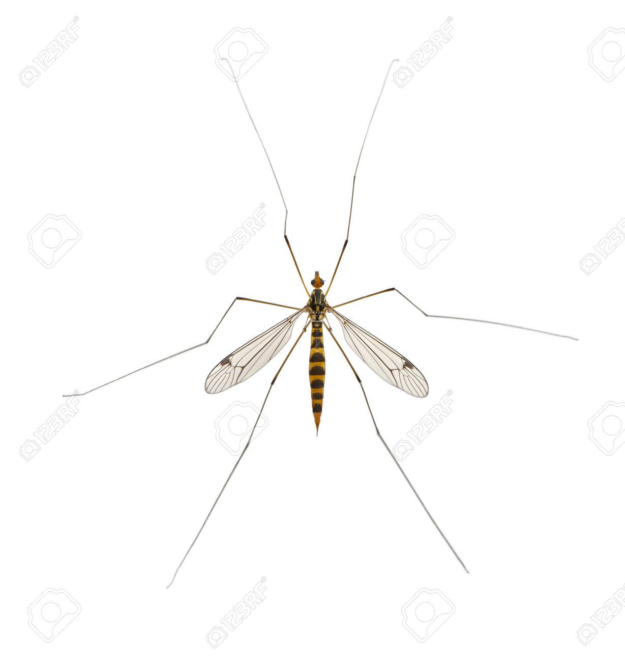 daddy long legs, mosquito, - nephrotoma scalaris Stock Photo - 13578218