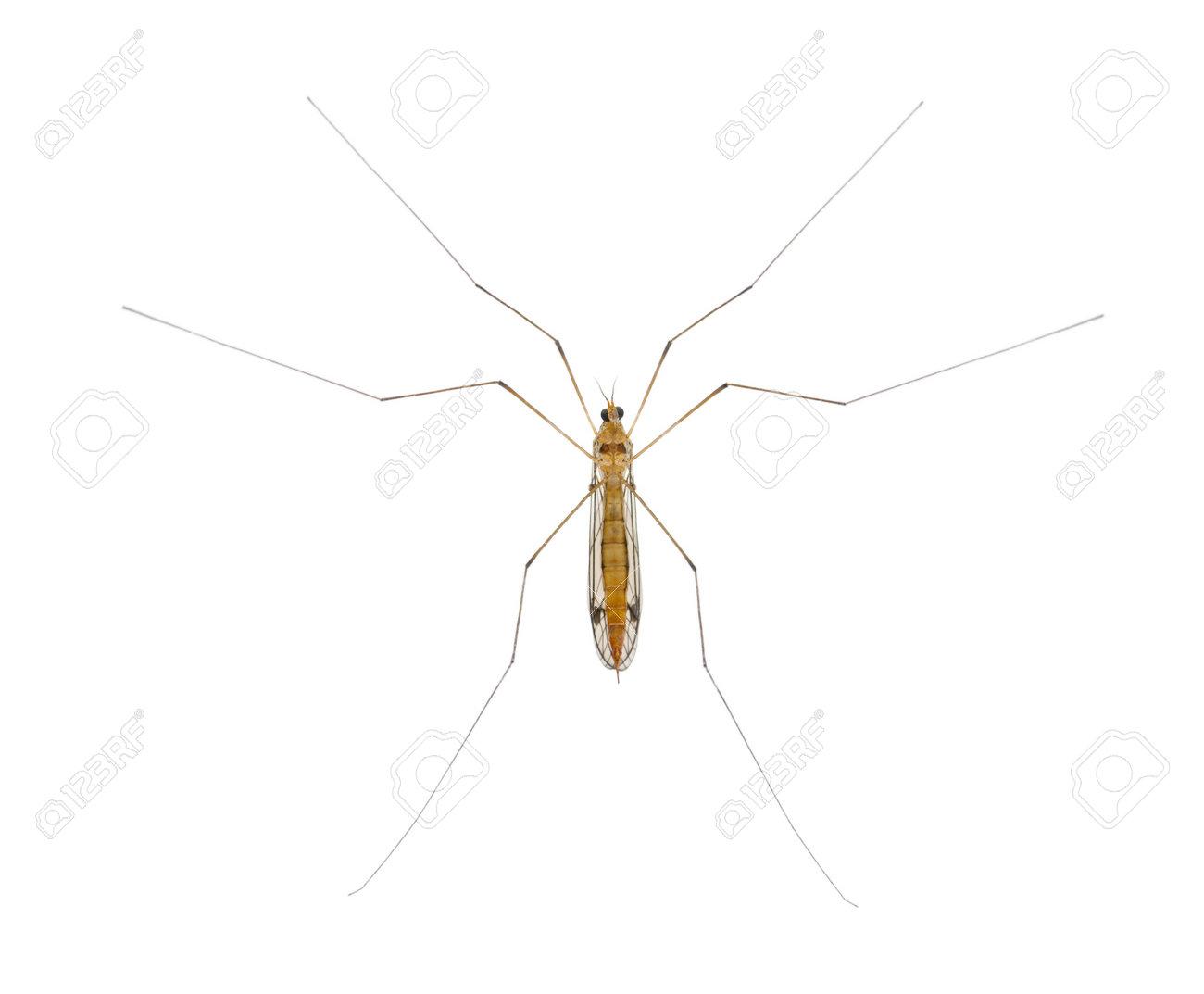daddy long legs, mosquito, - nephrotoma scalaris Stock Photo - 13578212