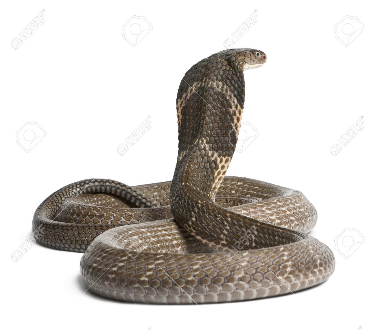 13582750 king cobra Ophiophagus hannah poisonous white background Stock Photo - (8 TIPS PENTING SEKIRANYA ANDA/ORANG DI SEKELILING ANDA DIPATUK ULAR DAN BAGAIMANA MENGENALPASTI TANDA-TANDA MANGSA DIPATUK ULAR)