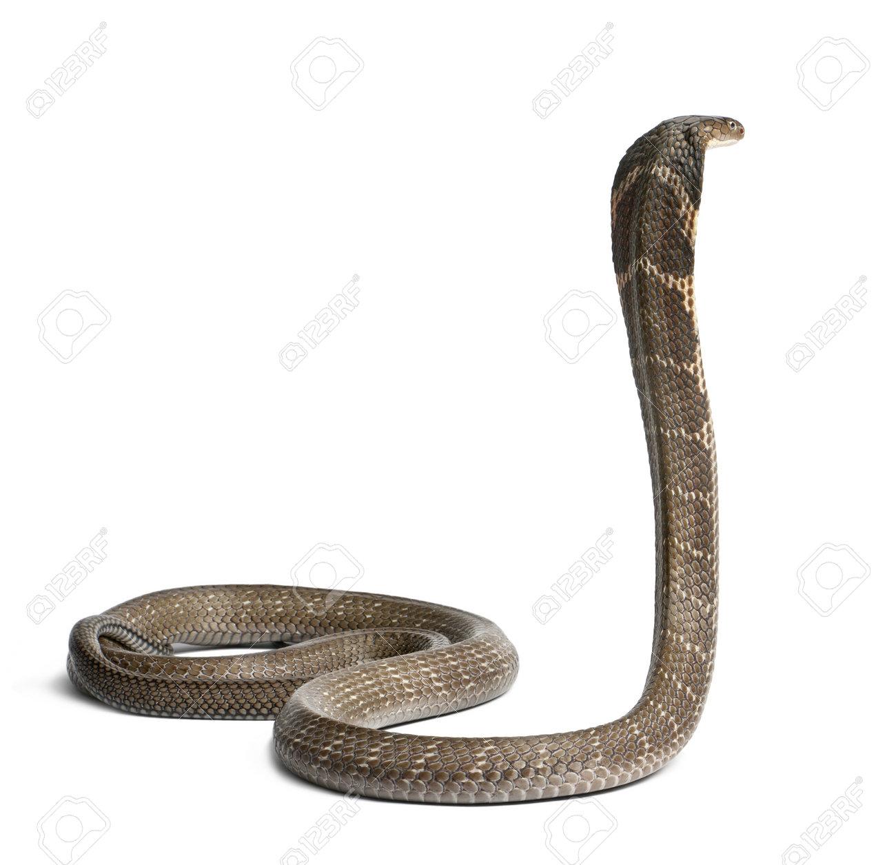 king cobra - Ophiophagus hannah, poisonous, white background Stock Photo - 13582625